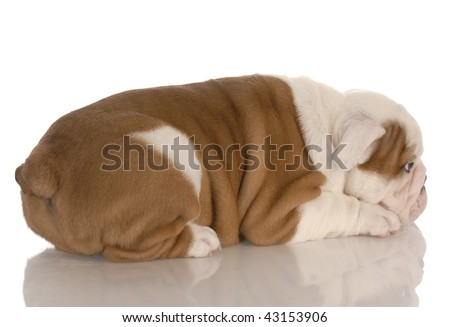 eight week old english bulldog puppy pouting with reflection on white background