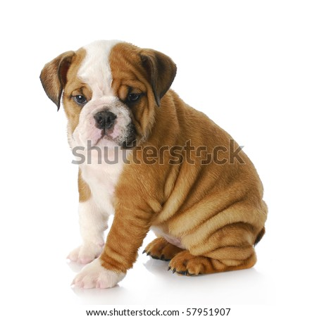eight week old english bulldog puppy sitting with reflection on white background