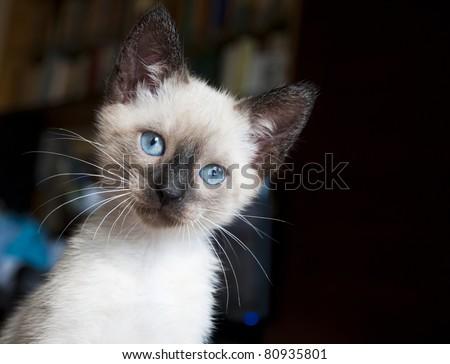 eight week old siamese kitten - portrait