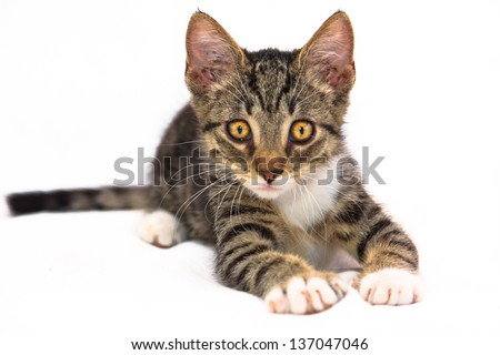 Eight weeks old tiger (tabby) pattern kitten with white paws laying on a bed at attention