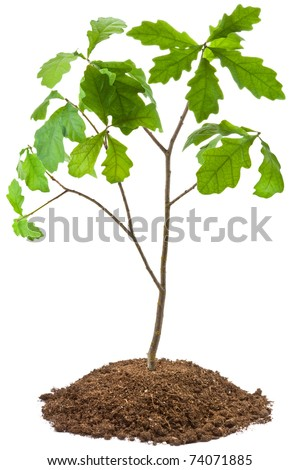 Eight-year oak tree. Isolated on white.
