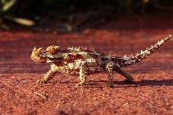 Ein Thorny Devil im roten Wuestensand des Outbacks Australiens