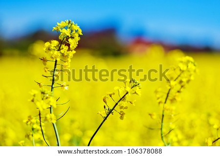 eion yellow canola field in the spring in front of a farmhouse. background and text space.