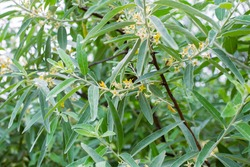 Elaeagnus commutata plant. Shrub plant with silvery leaves and small yellow flowers.