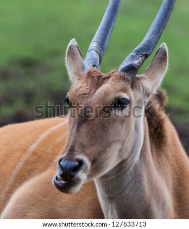 Elan antelope laid down