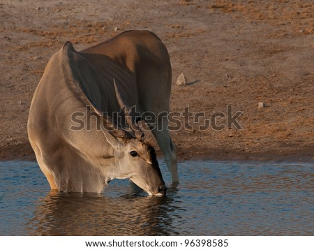 Eland in water