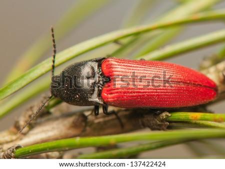 Elater sanguineus