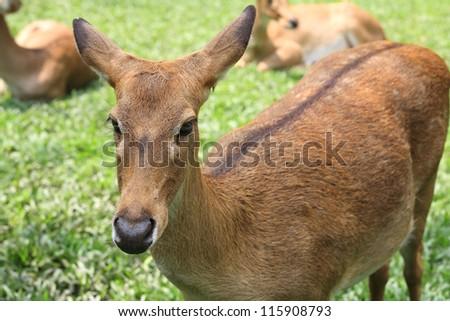 Eld's Deer standing on the grass