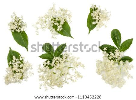 Elder flowers isolated on white.