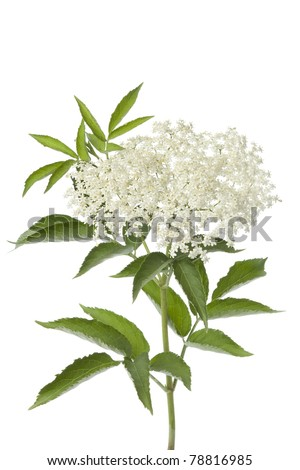 Elderberry flower and leaves on white background