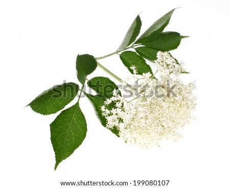 Elderberry or  sambucus nigra  isolated on white background