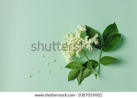 Elderflower blossom flower with leaves on light green background.  #1087059602
