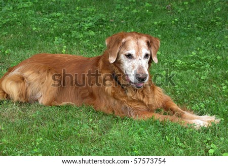 elderly  golden retriever dog