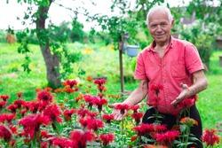elderly man in red shirt next to flower bed of Monarda didyma on garden plot in summer