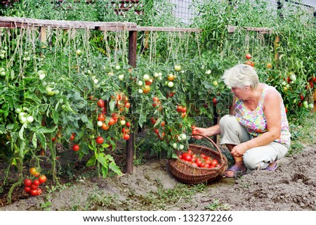 Elderly mistress of a kitchen garden received harvest of tomatoes
