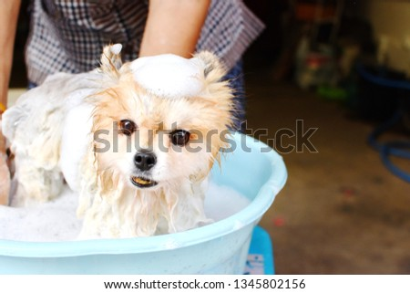 Photo of Elderly woman use her free time to be useful by cleaning small Pomeranian dog by herself at home, crop picture half body adult female, wet pet with bubble soap in blue bucket, happy time concept