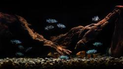 electric blue jack dempsey cichlid fish aquarium set up