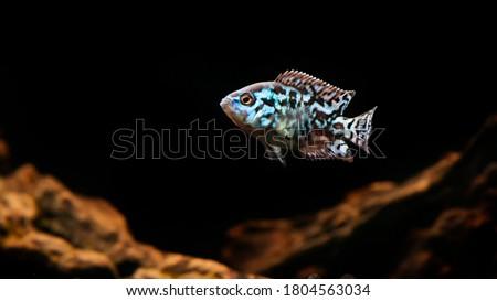 electric blue jack dempsey cichlid fish - Aquarium set up against blurry background. selective focus