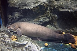electric catfish living under fresh water