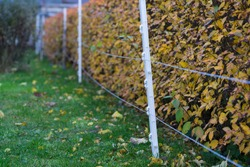 Electric fencing post made of white plastic materials with fine wire interwoven throughout the fence strands. Hedge with autumn leaves behind the fence.