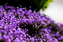 Elegant airy soft focus macro closeup of tiny Syringa flower spray also known as Lilac. Beautiful little blossoms in sunlight. Fresh foliage natural rustic background in vibrant color.