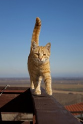 Elegant and beautiful ginger cat walking and balancing on tight wooden board on high balcony. Horizon and blue sky in the background.
