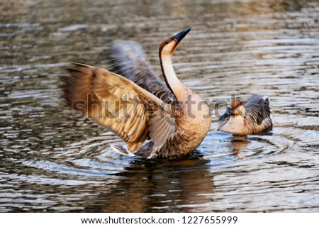 Elegant and elegant swan #1227655999