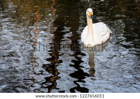 Elegant and elegant swan #1227656011