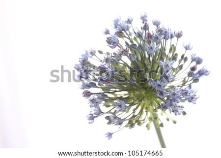 Elegant blue flower Allium from Japan