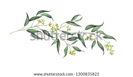 Elegant eucalyptus branch with seeds isolated on white background. Watercolor hand drawn illustration.
