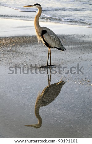 Elegant great blue heron reflecting in the water at the ocean.