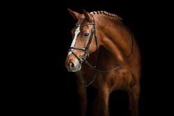 Elegant horse portrait on black backround. Horse on dark backround.