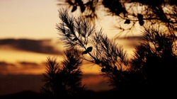 Elegant landscape with tree's silhouette for postcard or poster. Dark pine branches and cones silhouettes are on the colourful sky background on a sunset moment
