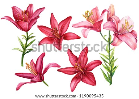 elegant lilies, set of red and pink flowers on an isolated white background, watercolor illustration, collection, greeting card