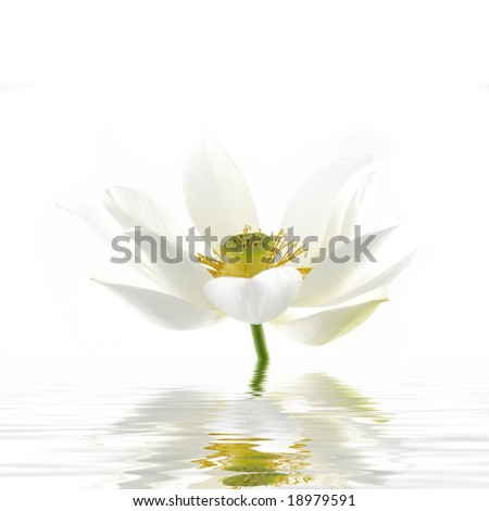 Elegant lily flower reflected in rendered water