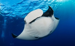 Elegant manta Ray floats under water. Giant ocean Stingray feeds on plankton. Marine life underwater in blue ocean. Observation of animal world. Scuba diving adventure in sea of Cortez, coast Mexico