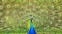 Elegant peacock with vibrant colors showing off his feathers.