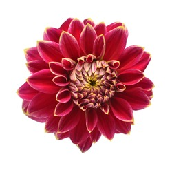 Elegant pink dahlia isolated on a white background. Beautiful head flower. Spring time, summer. Easter holidays. Garden decoration, landscaping. Floral floristic arrangement