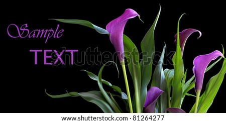Elegant purple calla lily bouquet on black background with copy space.