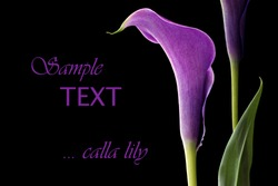 Elegant purple calla lily on black background with copy space.  Macro with shallow dof.