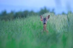 Elegant roe deer, capreolus capreolus, buck looking behind over shoulder on flourishing summer meadow with red flowers.
