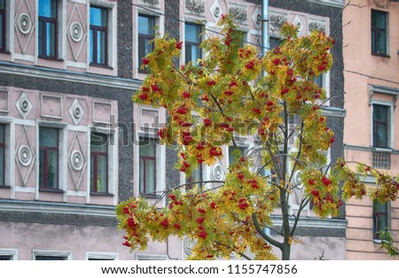 Elegant Rowan with red fruits in front of the classic buildings. Autumn in the Park and on the streets, defoliation, yellow leaves. Walking along the city streets and alleys of the Park
