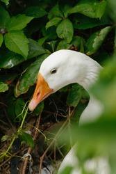 Elegant white duck, looking with sweet pale blue eye