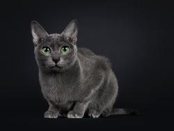 Elegant young adult Korat cat, laying down side ways facing front. Looking towards camera with green eyes. Isolated on black background.