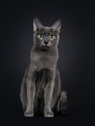 Elegant young adult Korat cat, sitting facing front. Looking towards camera with green eyes. Isolated on black background.