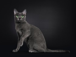 Elegant young adult Korat cat, sitting side ways. Looking towards camera with green eyes. Isolated on black background. Tail stretched behind body and one paw up.