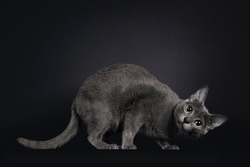 Elegant young adult Korat cat, standing side ways. Head turned down funny. Looking towards camera with green eyes. Isolated on black background.