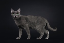 Elegant young adult Korat cat, standing / walking side ways. Looking towards camera with green eyes. Isolated on black background.