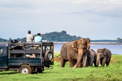 Elepahants safari in Minneriya, Sri Lanka - Mother asian elephant protects here baby elephants from tourist safari jeep in Minneriya National park near Kaudulla park and Dambulla. Safari in Sri Lanka.