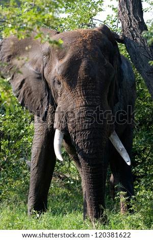 elephant, #120381622